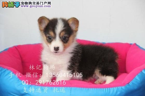 东莞市哪里有卖纯种柯基犬 纯种柯基犬多少钱