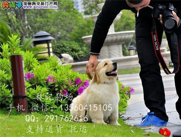 广州哪里有正规狗场 中山哪里有卖金毛犬