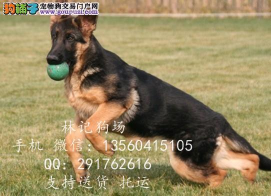 东莞哪里有卖河源哪里有卖狼狗广东省河源市哪里有狗场