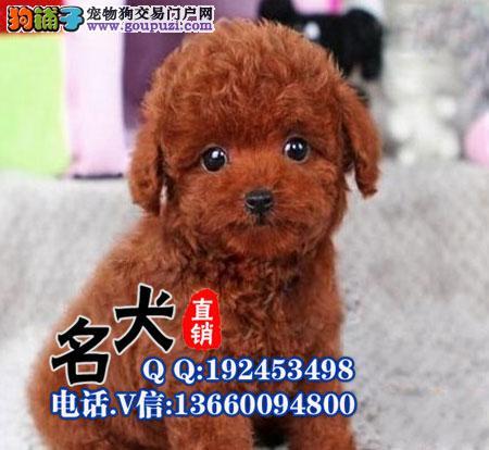 纯种茶杯玩具泰迪犬品相好颜色齐签售后包健康