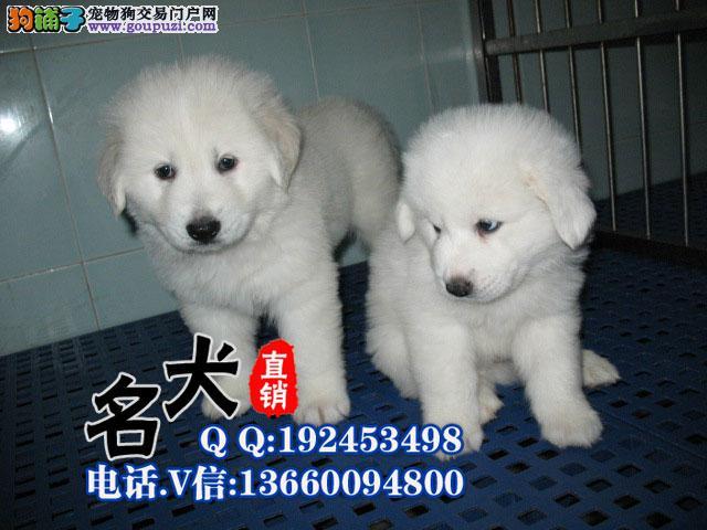 大白熊幼犬多窝多只出售 公母都有保证健康品质