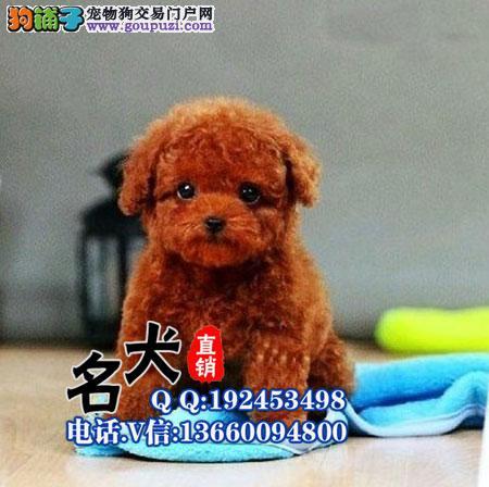 出售各色纯种泰迪幼犬 各种体型都有 保质保健康
