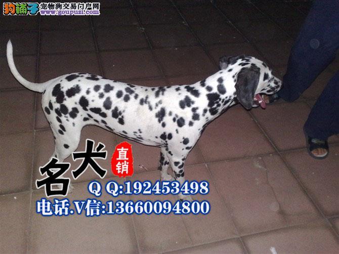 深圳你拉有卖斑点狗 深圳斑点狗多少钱一只