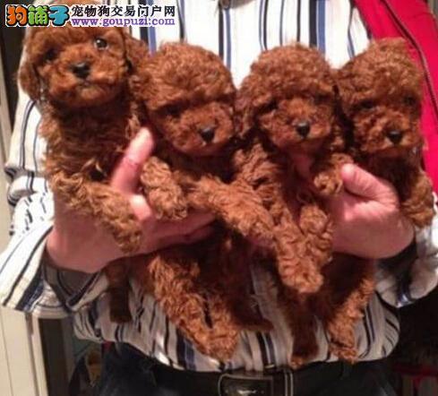 云南买狗的地方 迪庆哪里卖狗泰迪犬什么价格