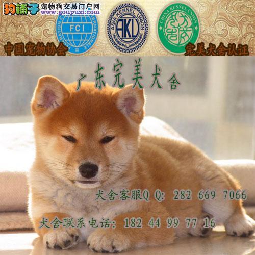 广州哪里有卖柴犬 广州番禺哪里有卖狗 正规犬舍