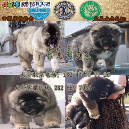 广州增城哪里有狗场 广州买高加索去哪里 高加索价格