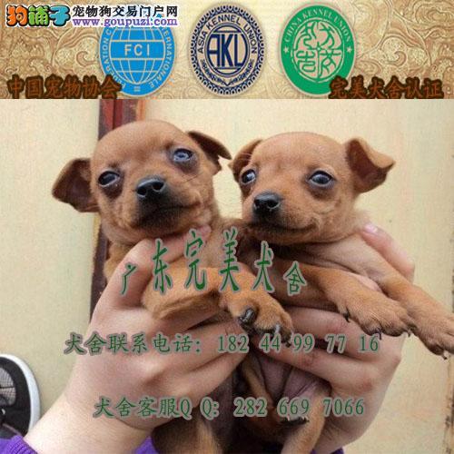 广州哪里有卖小鹿犬 增城有狗场吗 广州小鹿价格