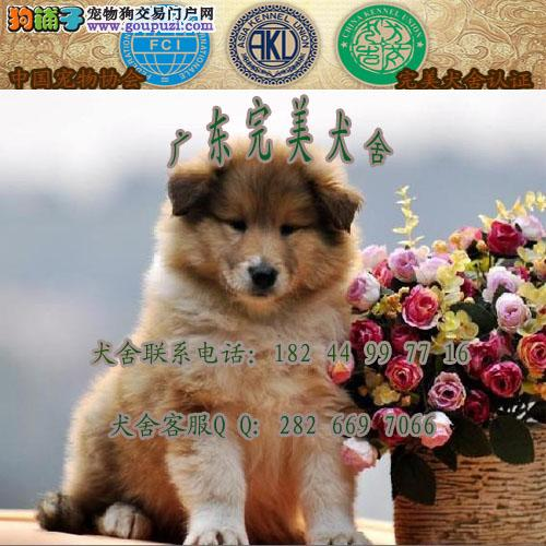 广州买狗去哪里 广州哪里有卖苏牧 广州苏牧多少钱一只