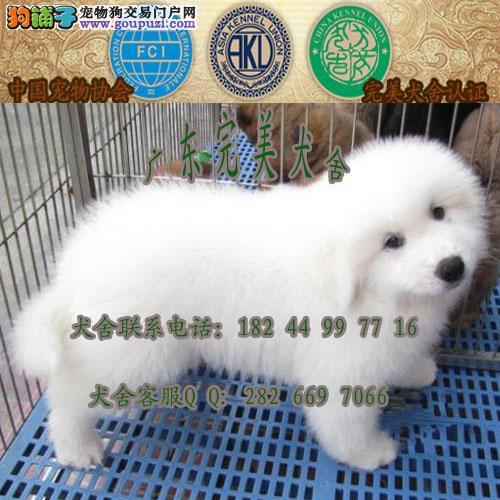 广州白云区哪里有正规狗场 广州哪里有卖大白熊