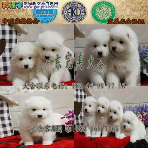 广州哪里买萨摩耶好 广州到哪家狗场买狗有保障