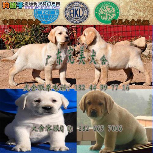 广州买狗去哪里 广州哪里有卖拉布拉多 拉布拉多价格
