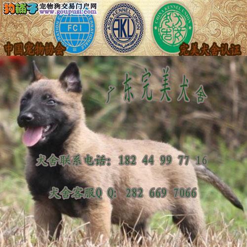 广州买狗去哪里好 广州哪里有正规狗场 广州马犬价格