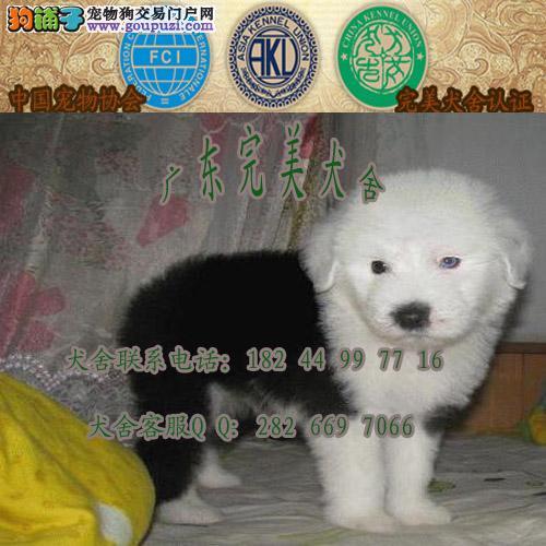 广州哪里有卖宠物狗 番禺古代牧羊犬价格多少