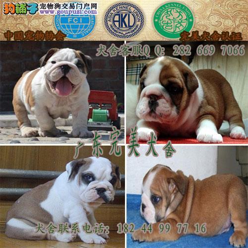 广州哪里有卖英国斗牛犬 英国斗牛犬多少钱一只
