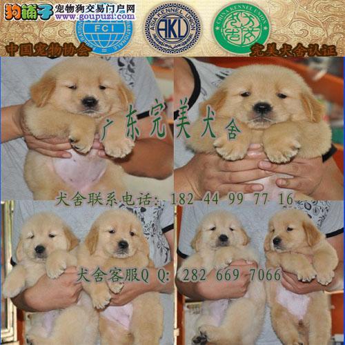 天河区哪里有卖宠物狗 广州哪里有卖金毛 广州金毛价格