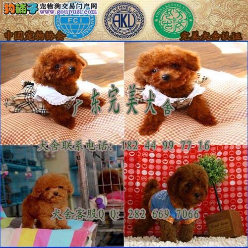 广州哪里有卖纯种泰迪熊幼犬 广州哪里买宠物狗最好