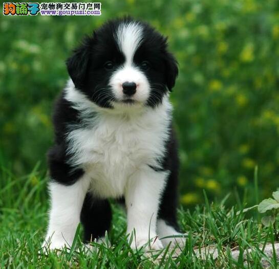 高端品质七白到位边牧幼犬 可现场检测健康 可送货