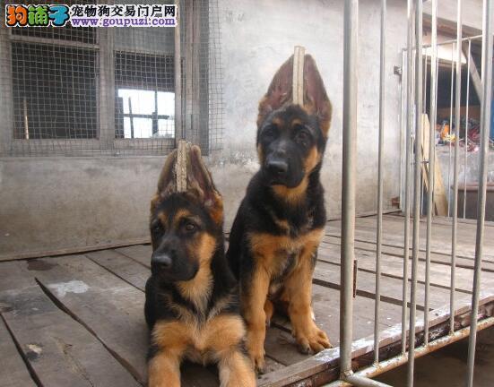 广州什么地方买纯种德牧犬 广州最大德牧基地直销德牧