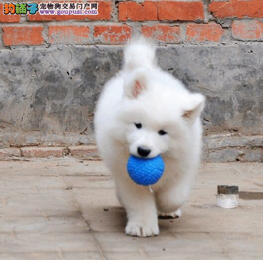 高端微笑萨摩幼犬出售 包健康半年 可现场检测病毒