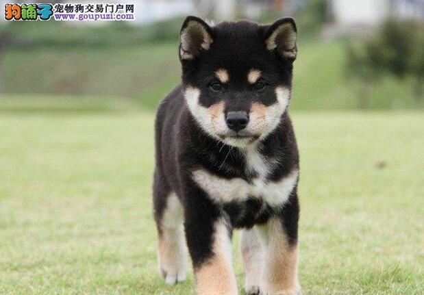 高品质日系柴犬 日本引进纯血统 专业繁殖精品柴犬