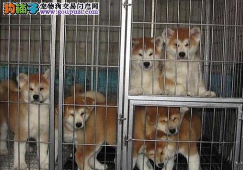 高品质秋天幼犬出售 保障健康品质 上门挑选更优惠哦