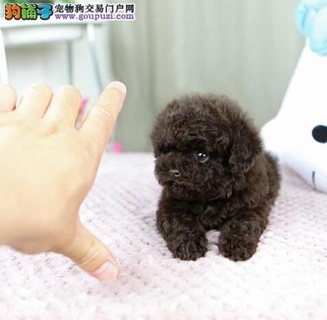 韩系精品贵宾幼犬 高端品质贵宾狗 包协议健康半年