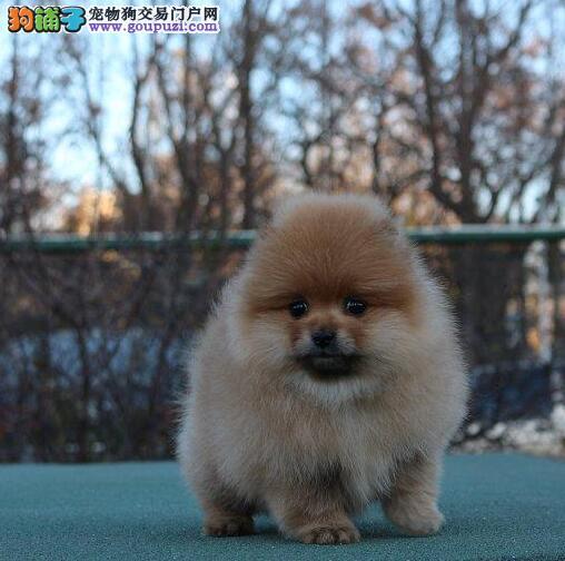 高端品质纯种博美幼犬 正规养殖场出售 包健康纯种