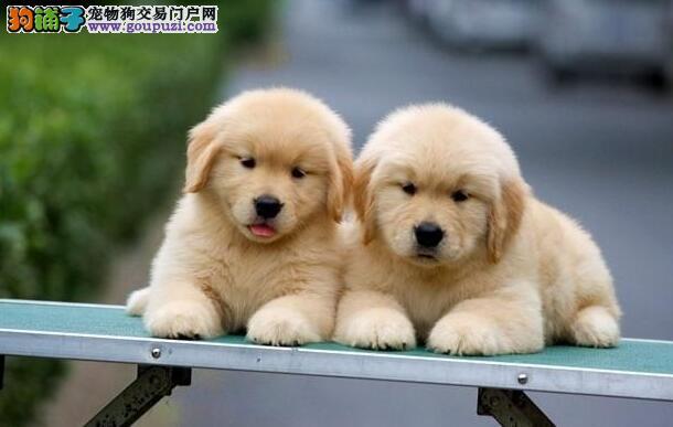 高品质金毛犬哪里买 广州最大金毛养殖基地 带协议出售