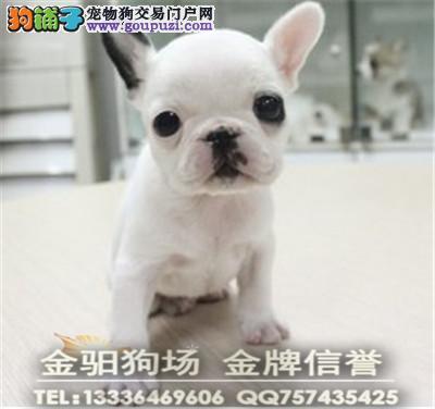 广东名犬专业养殖高端法国斗牛犬 包健康包纯种