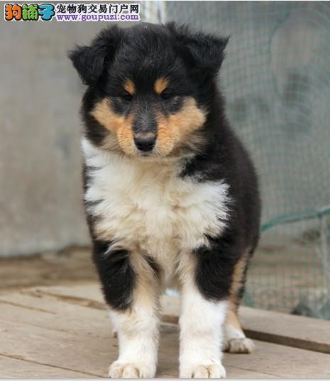 徐汇区苏格兰牧羊犬多少钱苏格兰牧羊犬照片