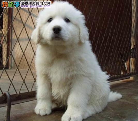 徐汇区大白熊多少钱大白熊照片徐汇区出售大
