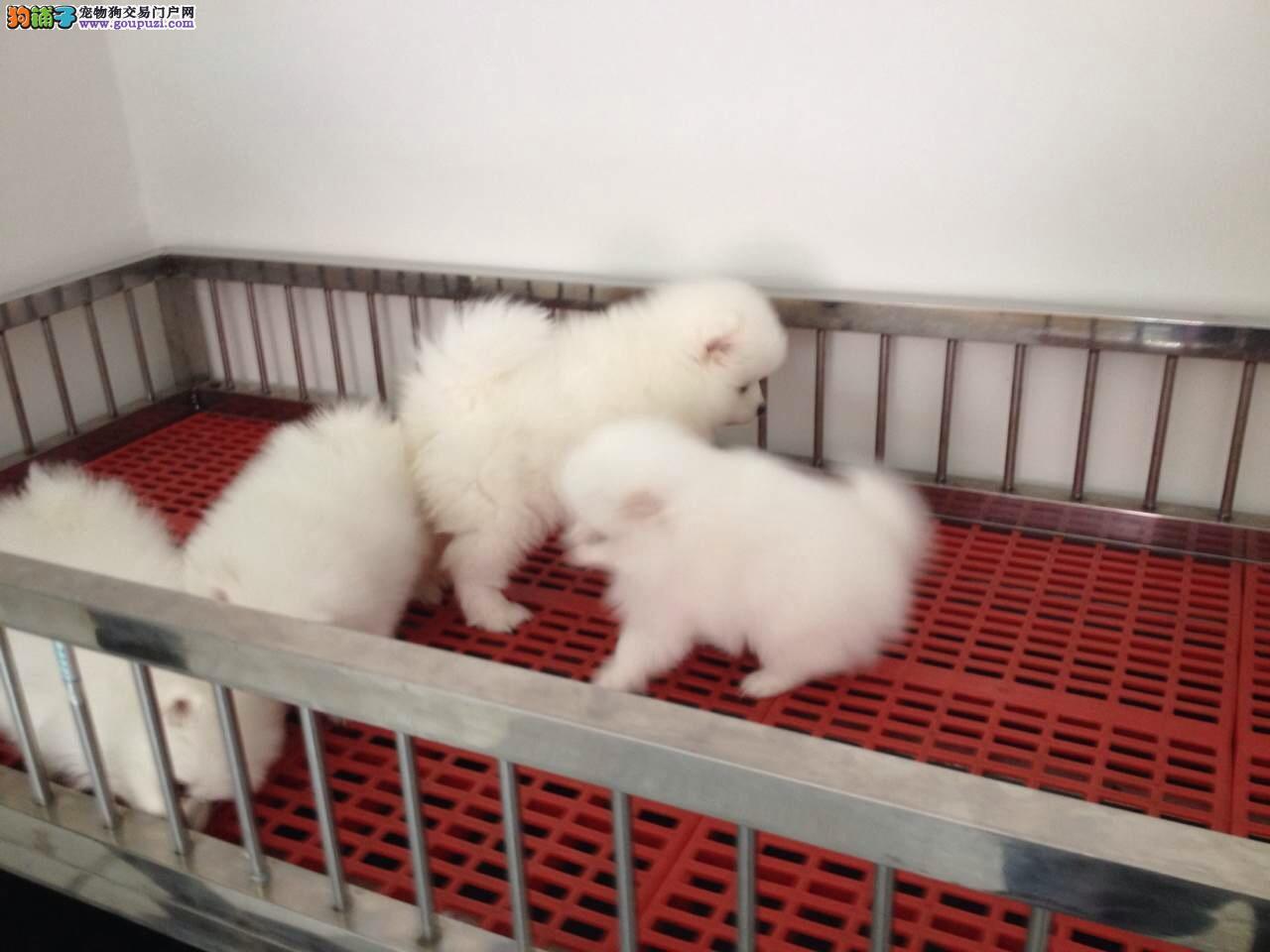 徐汇区博美犬多少钱博美犬照片徐汇区出售博