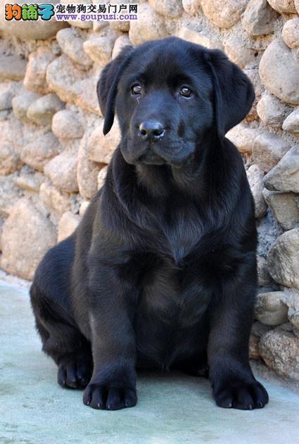 高品质冠军血,纯种奥巴马后代,精品拉布拉多犬