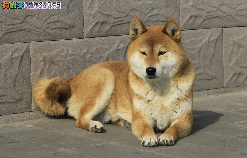赛级日本柴犬幼犬 品相好 血统纯 看父母