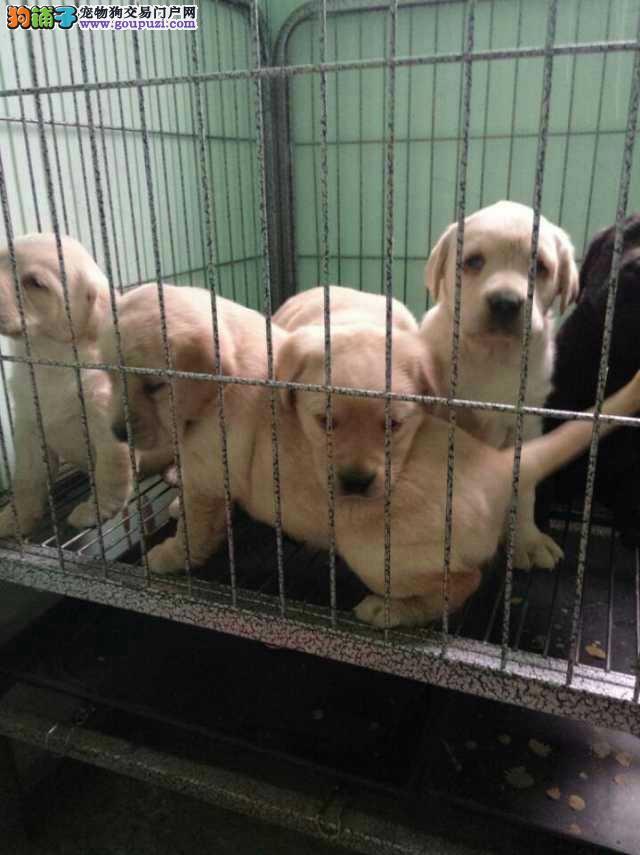 苏州市拉布拉多犬多少钱拉布拉多犬照片苏州