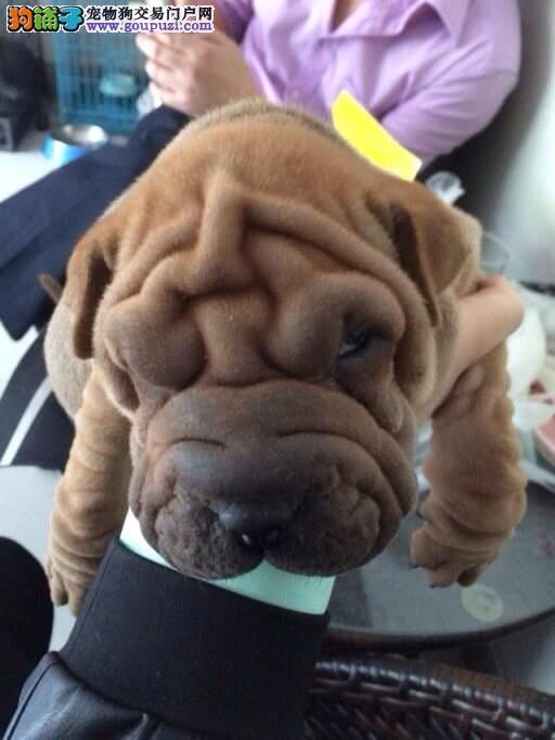 苏州市沙皮狗多少钱沙皮狗照片苏州市出售沙