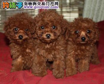 玉溪哪里买纯种泰迪犬 玉溪地区出售泰迪犬 图片及价格