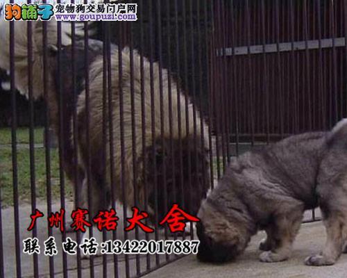 专业繁殖原生态顶级护卫犬高加索 签售后协议欢迎选购