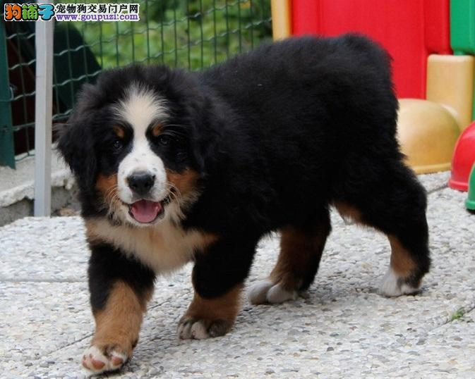 纯种 伯恩山多只可选 正规犬舍出售 签订协议