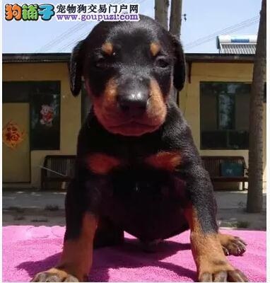 进口纯种德系杜宾犬幼犬 黑色红色咖啡色德系美系杜