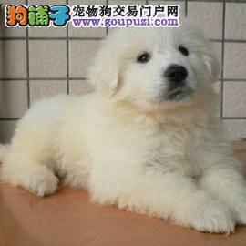 百熊犬,健康百分百纯种,大白熊出售