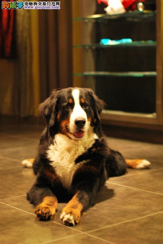 纯种伯恩山幼犬,温顺勇敢的大狗,家庭伴侣犬