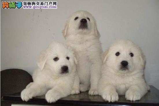 出售纯种大白熊犬,健康质保三个月,可加微信看狗