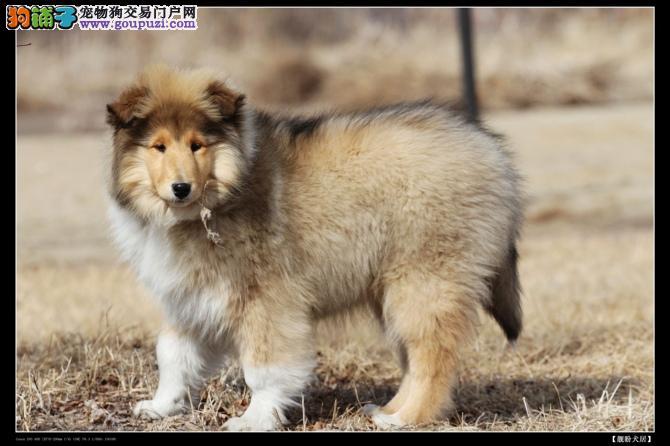 苏格兰牧羊犬纯种幼犬出售 售后签协议质保三个月