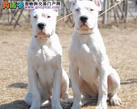 斗犬纯种勇士,男人们的最佳首选,杜高犬