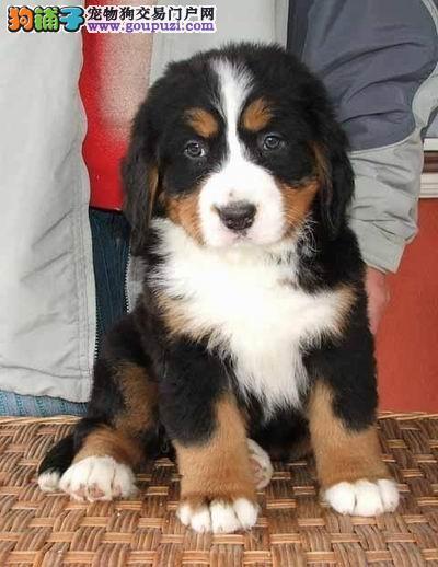 伯恩山犬,纯种幼犬,骨架粗 赛级血统