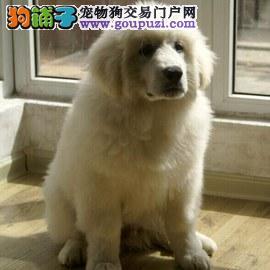 纯种骨架高大大白熊宝宝出售毛色漂亮活泼可爱