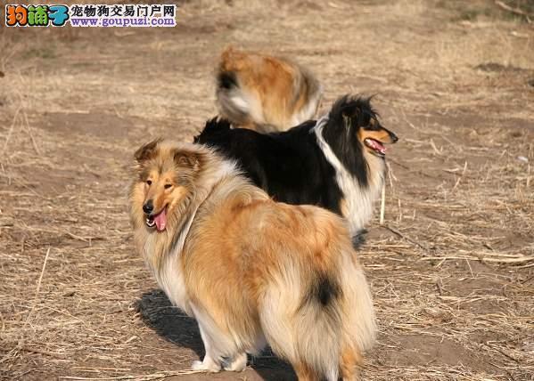 帅气苏格兰牧羊犬,常年繁殖纯种幼犬签协议质保