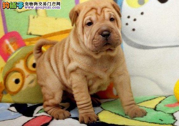 憨憨可爱纯种沙皮犬幼犬出售 狗场直销