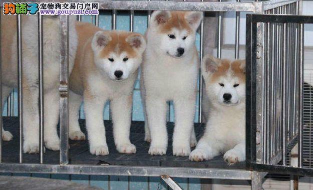 秋田日系纯种秋田犬,带证书,可看大狗可看视频选